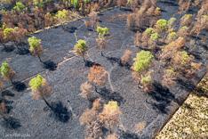 Verbrande bomen in Deurnese Peel na de grote brand van april 2020 - luchtfoto gemaakt met een drone.