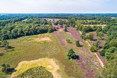 Bloeiende hei in het Buurserzand in Twente. Luchtfoto gemaakt met een drone.